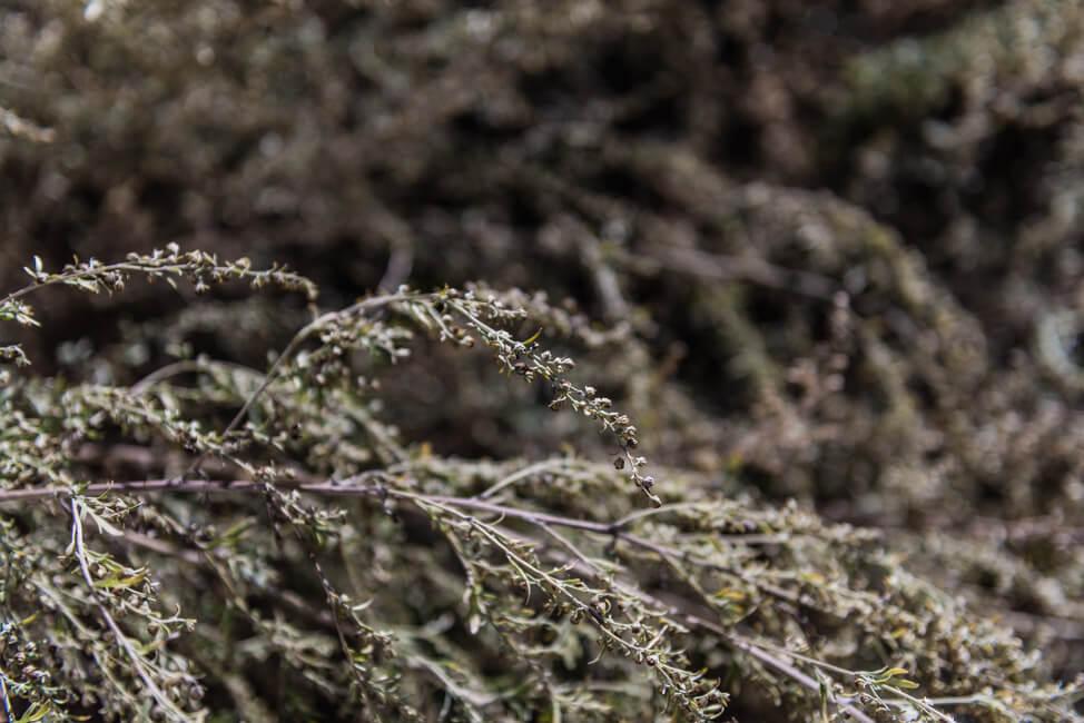 Absinth großer Wermut Pflanze