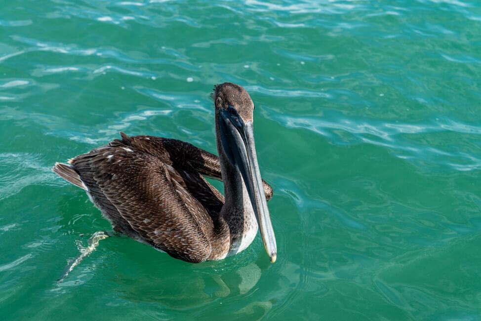 Isla Holbox Mexiko türkisblaues Meer Karibik Cabo Catoche Bootstour Ausflug Pelikan