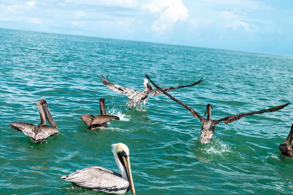 Isla Holbox Mexiko türkisblaues Meer Karibik Cabo Catoche Bootstour Ausflug Pelikane