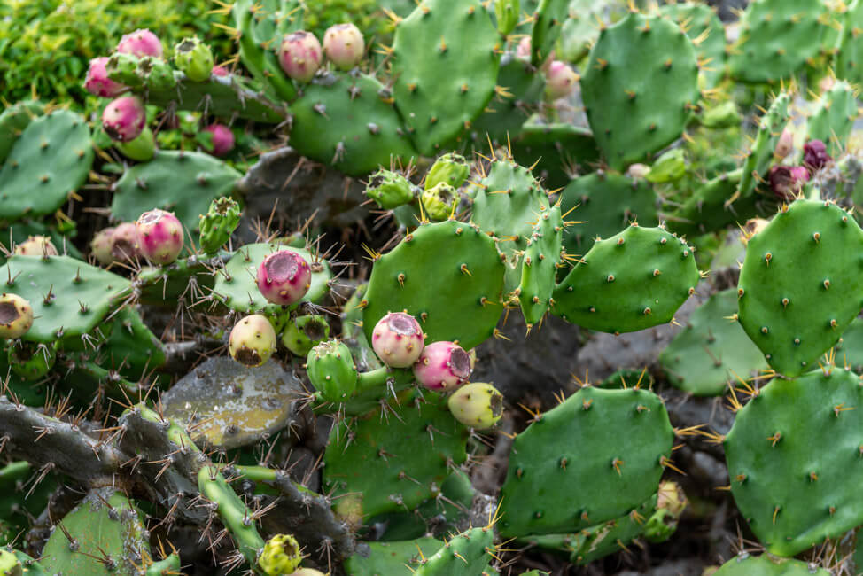 Mexiko Isla Mujeres Karibik Insel Punta Sur Kakteen Kaktusfeige