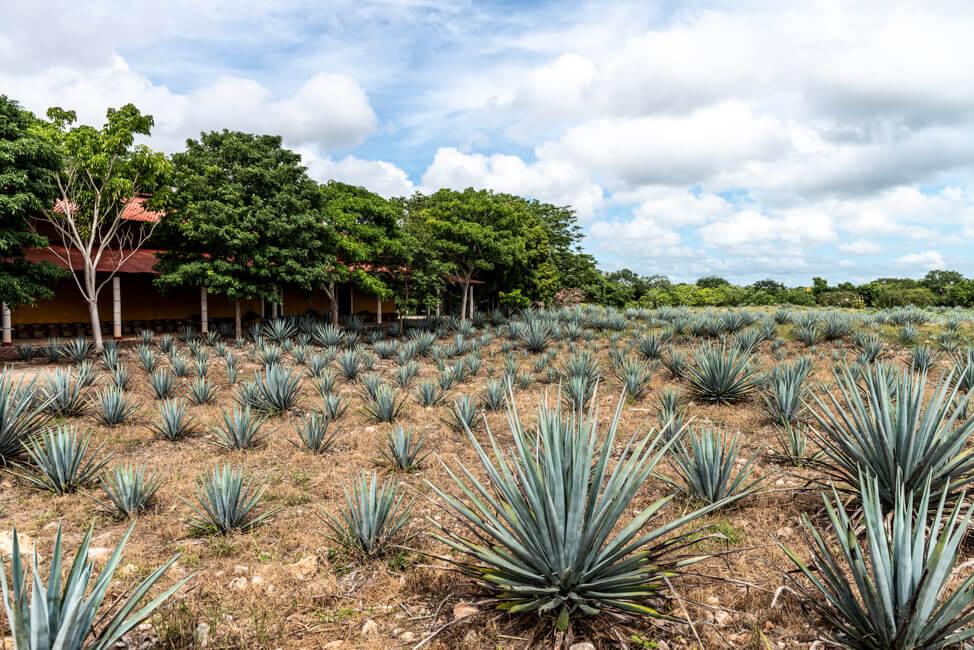Mayapan Distillery Blaue Agave Feld