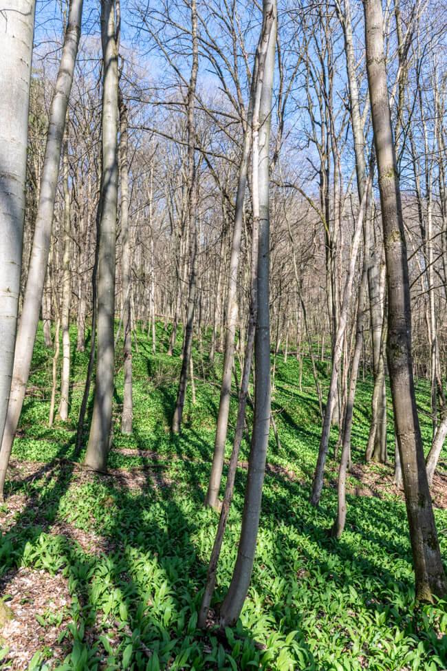 Bärlauch im Wald.