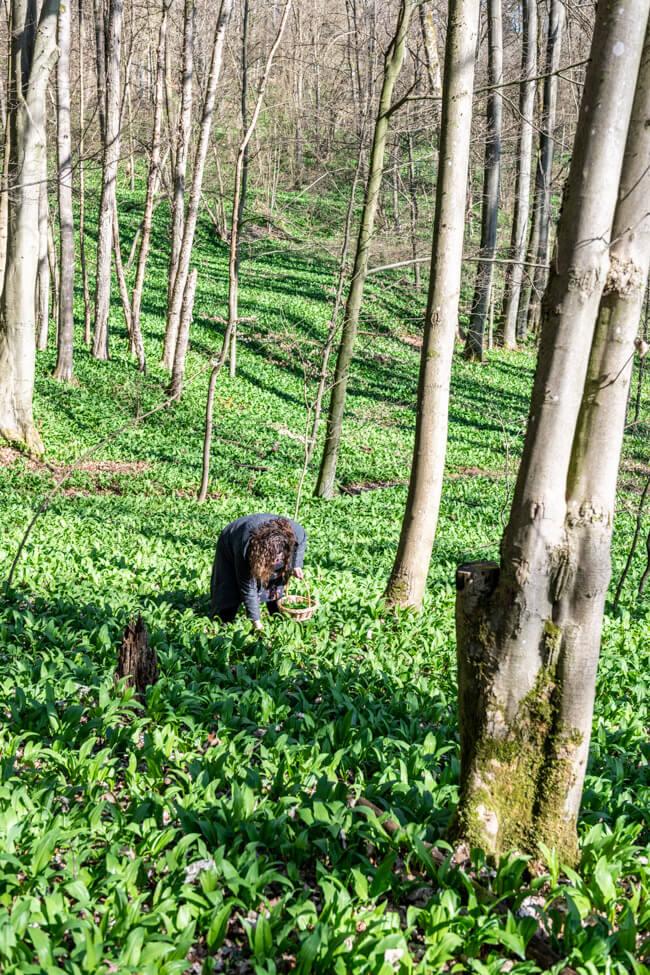 Ich sammle Bärlauch im Wald.